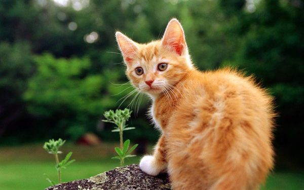 Забарвлення і характер кішок - руда кішка