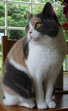 кішка Калико