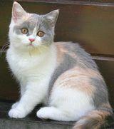 Забарвлення кішки освітлений Калико
