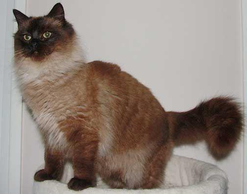 кішка Рагамаффін