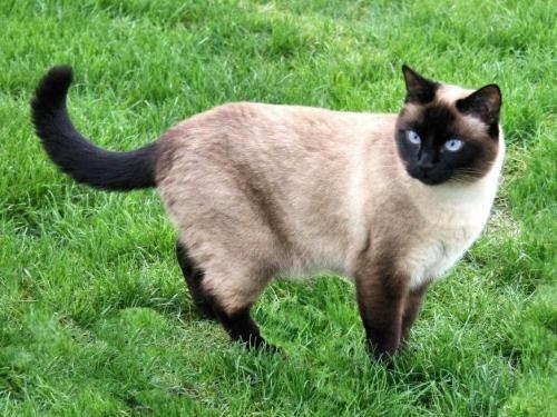 Сіамська кішка - окрас сил-поінт