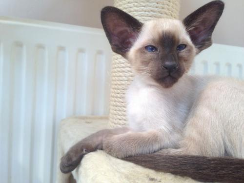 Сіамська кішка - окрас шоколадний