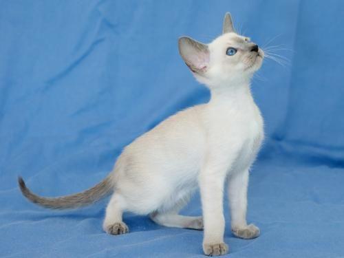 Сіамська кішка - окрас блю-пойнт