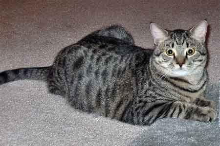 Забарвлення таббі у породистих кішок.