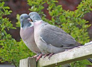 Він або вона: як визначити статеву приналежність голуба