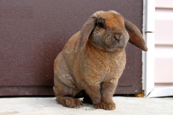 Опис і зміст кроликів рекс