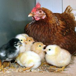 Несучка Родонит з курчатами
