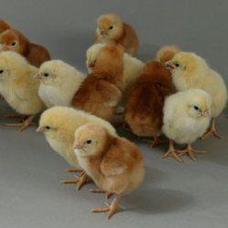 Курчата породи Родонит