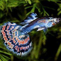 рибки акваріумні