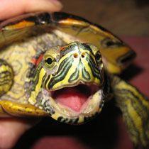 прісноводна черепаха