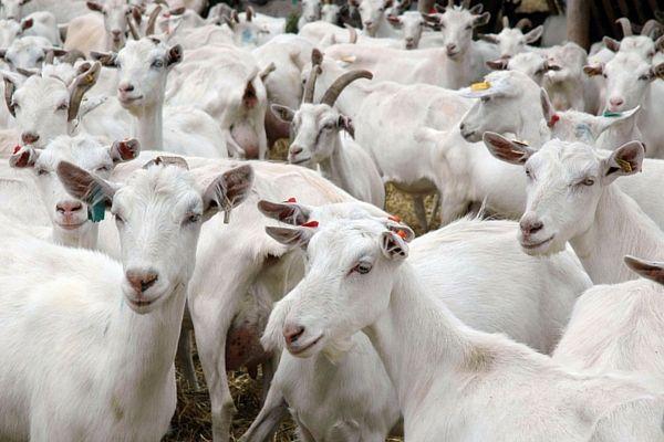 Опис, вирощування і догляд за зааненской козами