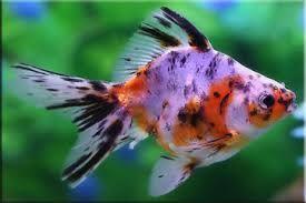 Опис золотих акваріумних рибок, можливі види і характери