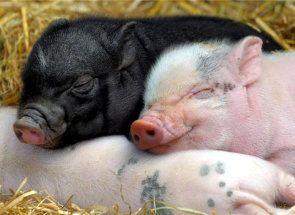 Опорос свині від а до я