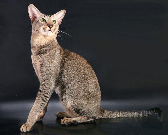 Ориентальная порода користується популярністю у цінителів котячих