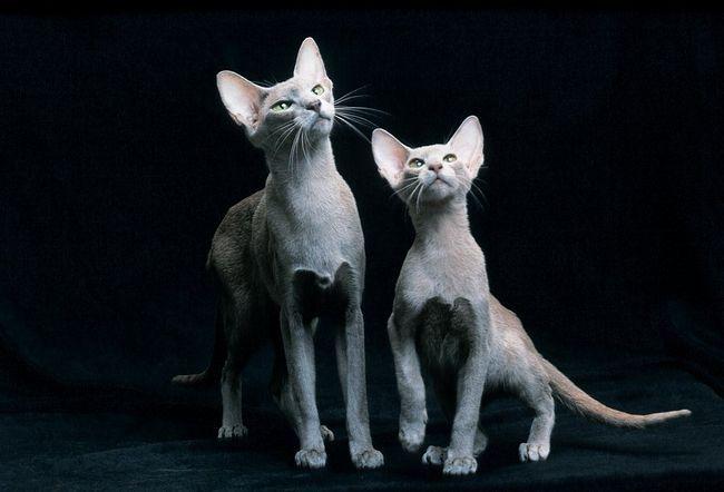 Орієнтальні кішки витончені і граціозні