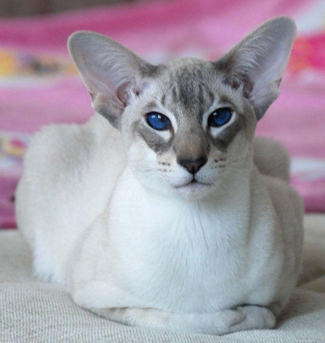 Орієнтальні дивовижні кішки, які вражають своєю грацією