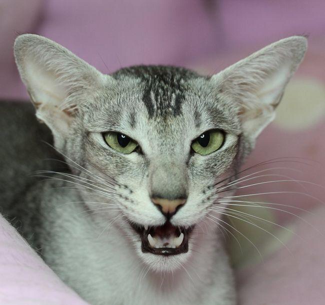 Кішки можуть бути гучними