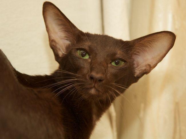 Орієнтальна кішка має м`який характер