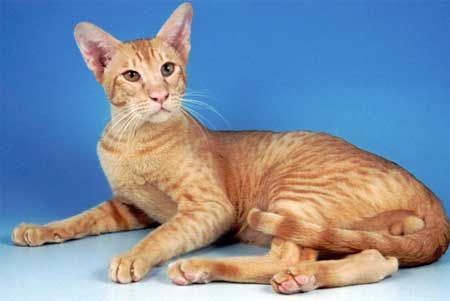 Ориентальная порода кішок.