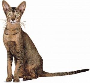Ориентальная порода кішок