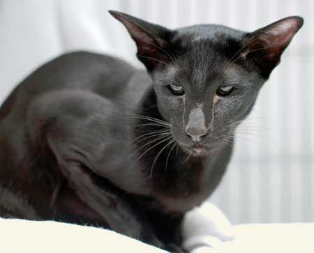 Орієнтальна кішка - ебенового суцільне забарвлення