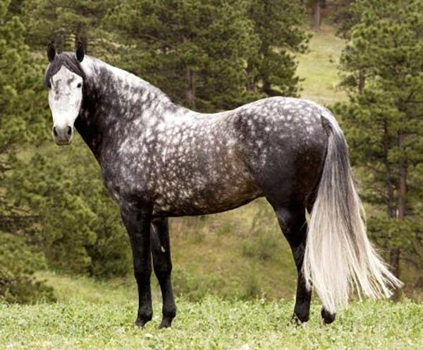 Орловська порода - гордість російського конярства