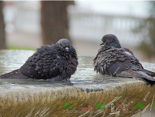 Фото голубів, які наежілісь