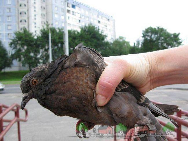Фото міського голуба в руці