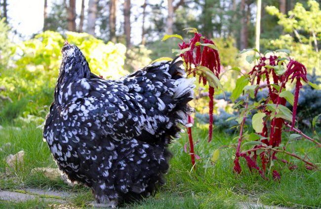 Мармурова курка Орпінгтон на траві