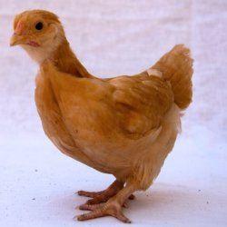 Маленький курча породи Орпінгтон