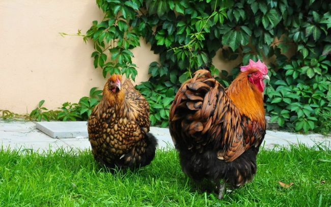 Курка і півень породи Орпінгтон