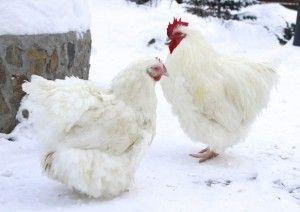 Півень і курка Орпінгтон білого забарвлення