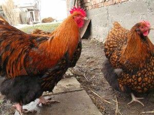 Півень і курка Орпінгтон золотисто-оранжевого кольору