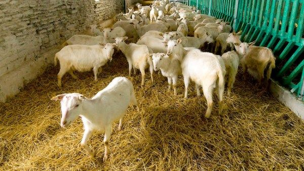 Зміст кіз в домашньому господарстві