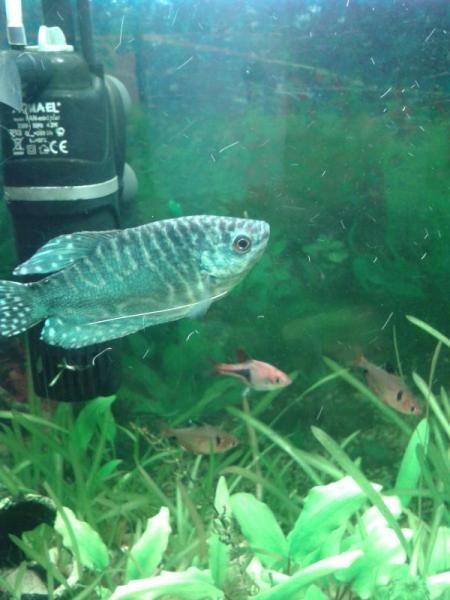 Основні правила вирощування рибок зебр