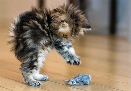 кошеня грає