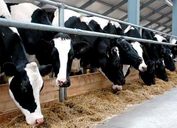 Особливості та продуктивність молочних чорно-строкатих корів
