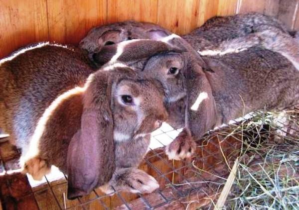 Особливості великих і карликових декоративних кроликів баран