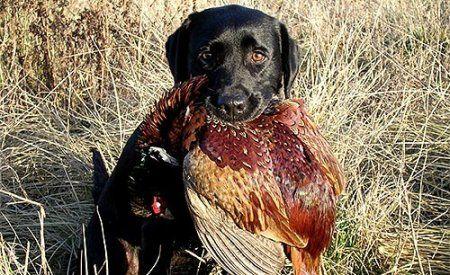 Особливості полювання на фазана з лягавою