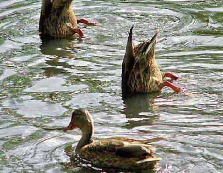 Особливості полювання в вересні на качку