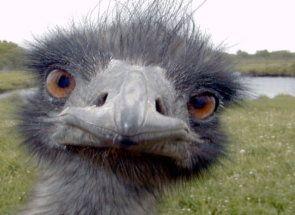 Особливості репродуктивної системи у страусів