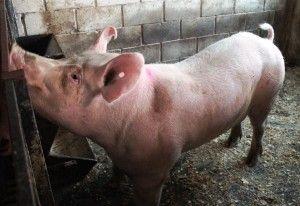 Особливості злучки і статевої полювання свиней