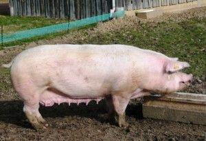 Як годувати племінних свиней