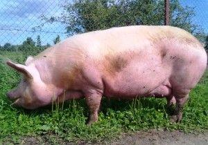 Розмноження свиней в домашніх умовах