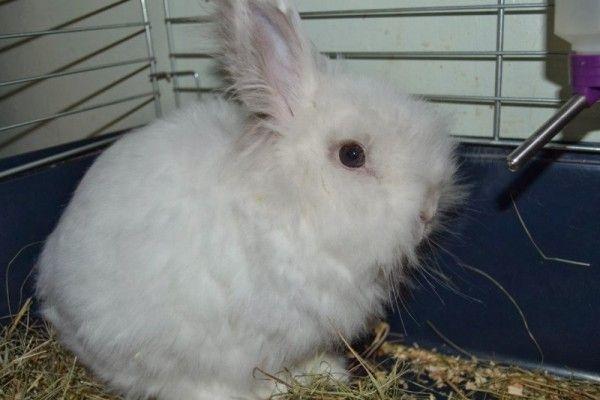 Особливості утримання та розведення ангорських кроликів