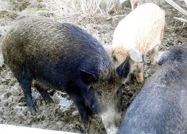 Особливості утримання свиней і поросят породи мангал