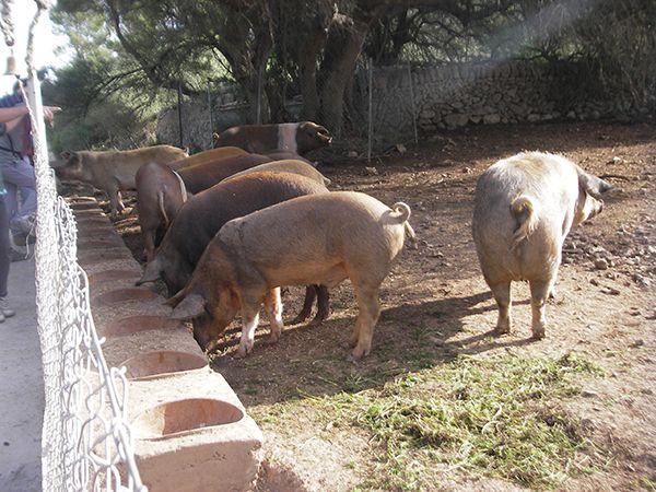 Особливості утримання свиней в підсобному господарстві