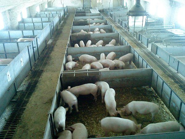 Безвигульне форма утримання свиней