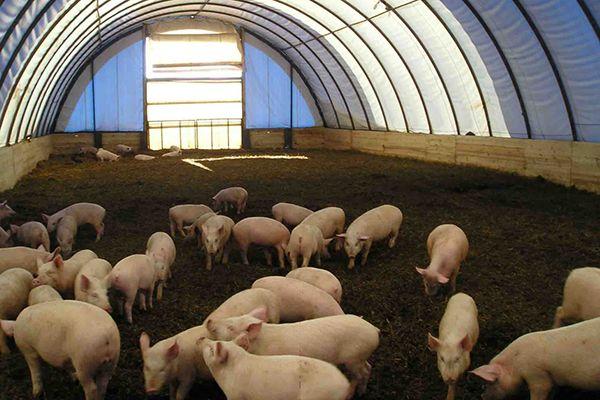 Канадська технологія утримання свиней