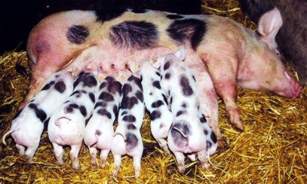 Особливості свиней пьетрен м`ясної продуктивності